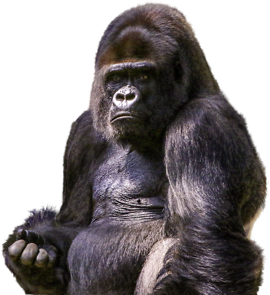 gorilla-1596803_1280
